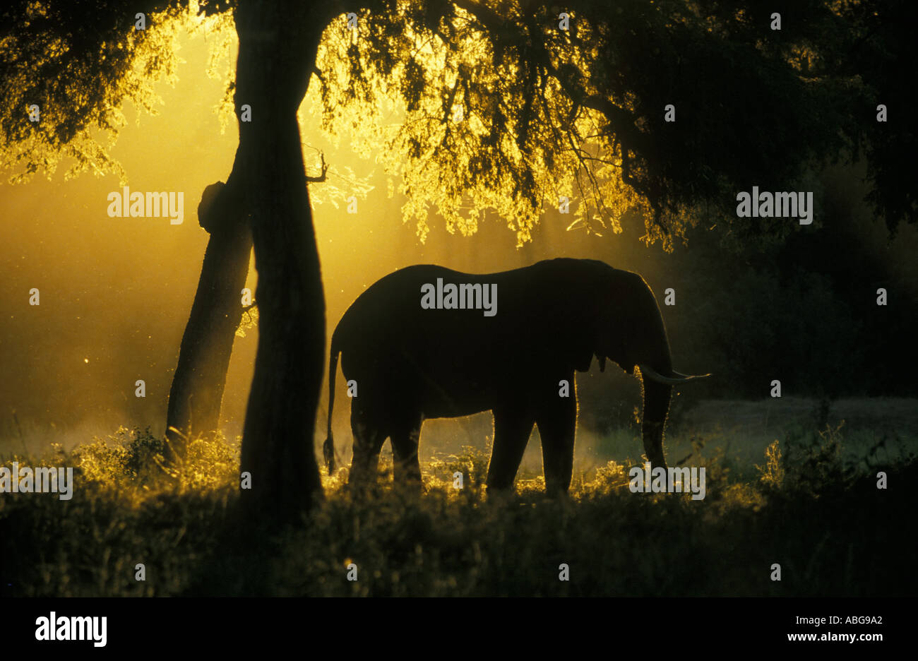 Elephant silhouetted against golden light Mana Pools National Park Zimbabwe Africa Stock Photo