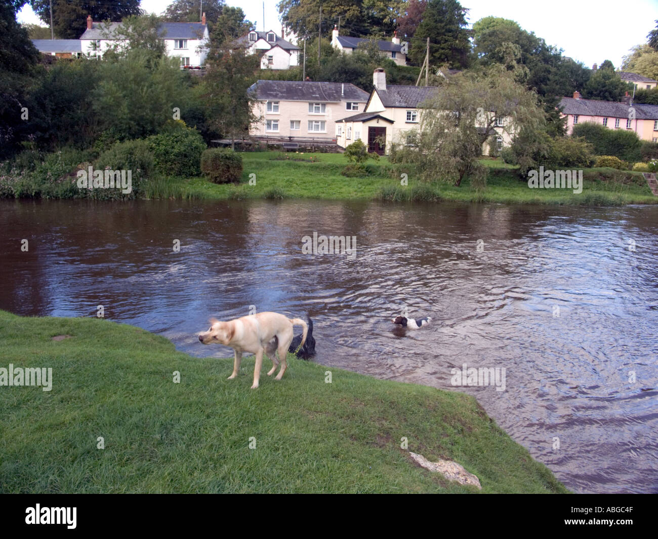Dogs play in the River Barle at Withypool, Exmoor National Park, Devon, England, Great Britain, UK, - Stock Image