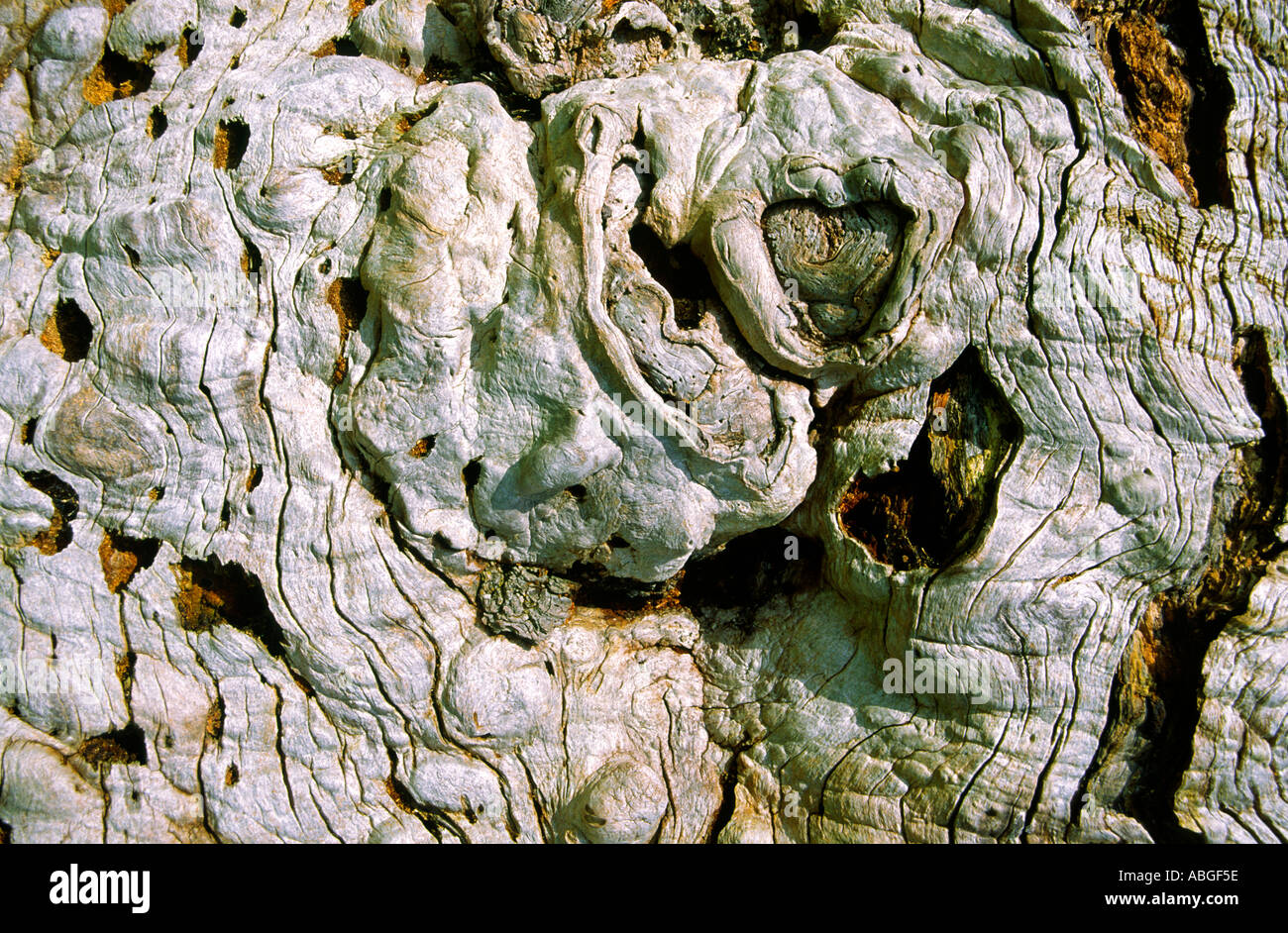 The trunk of an elm tree which had been killed by Dutch Elm Disease - Stock Image