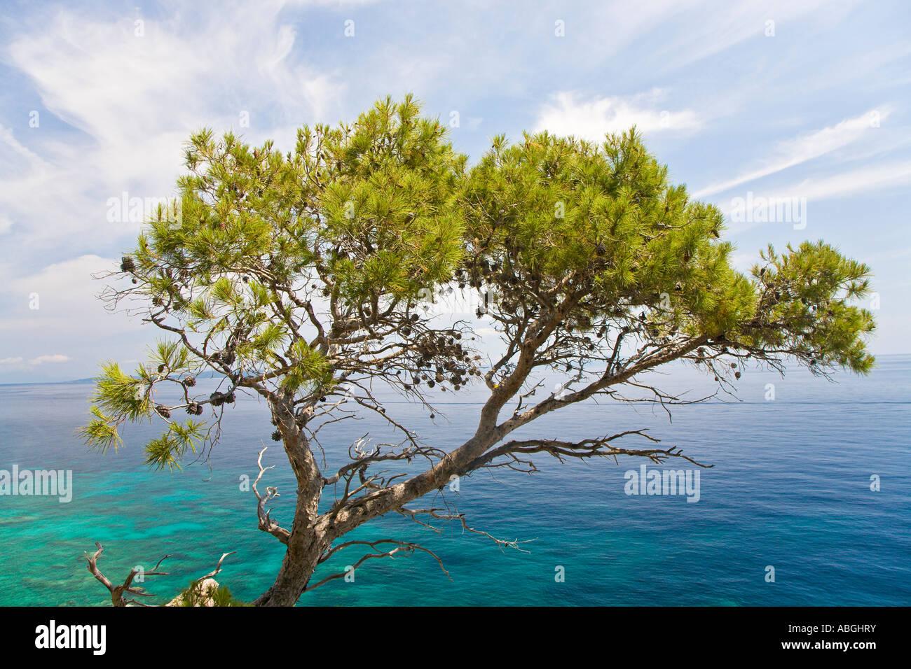 Aleppo pine (Pinus halepensis), in front of turquoise-blue sea, Island Hvar, Dalmatia, Croatia - Stock Image