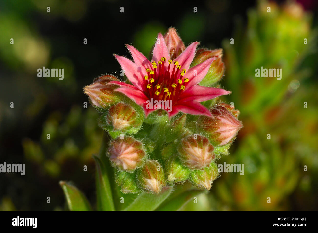 Blooming houseleek, Sempervivum - Stock Image