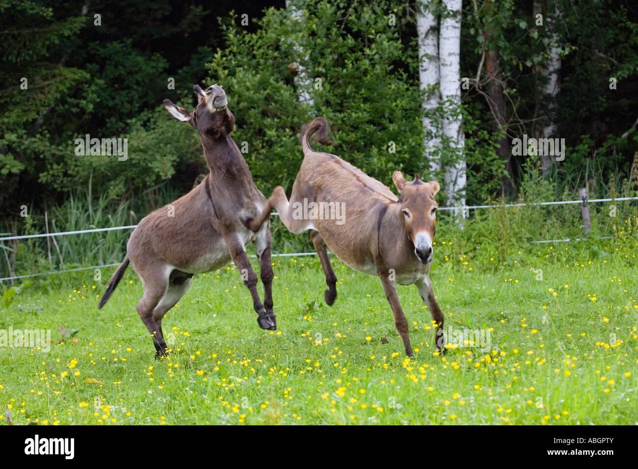 Donkey kicking against male, Equus asinus, Bavaria, Germany Stock Photo
