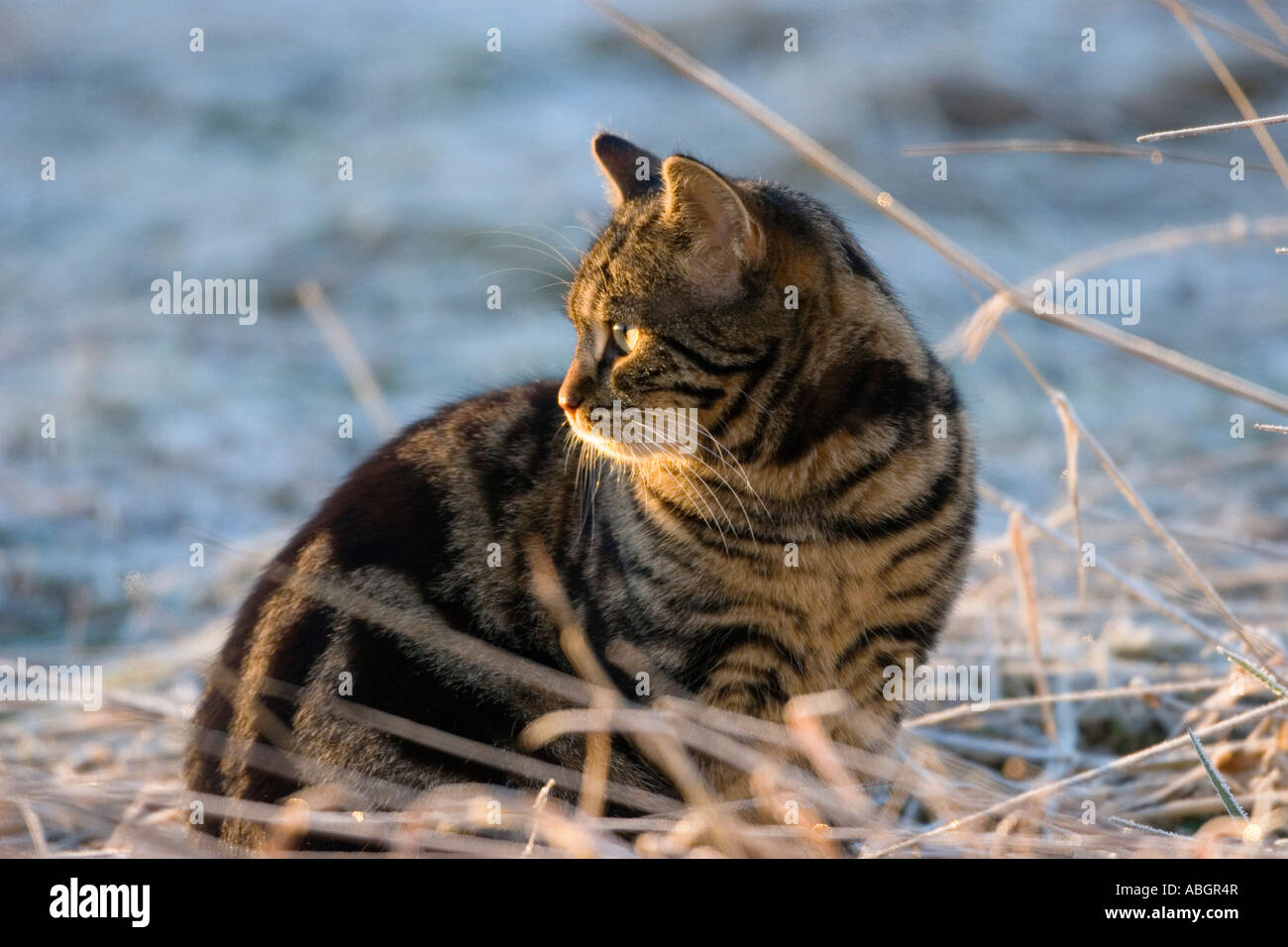 Domestic cat sitting in winter Stock Photo