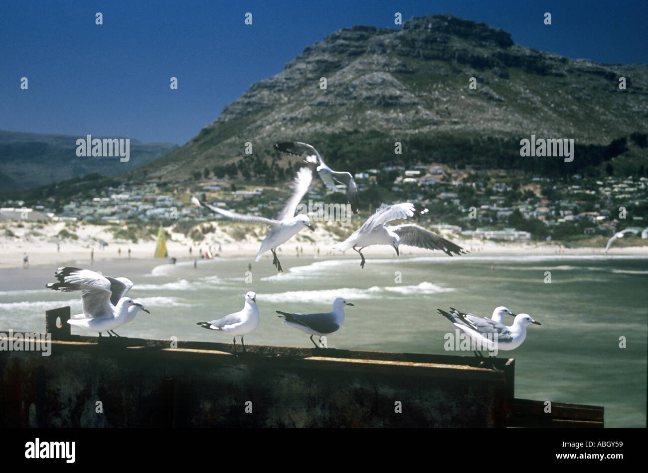 Seagulls chasing fish scraps in Hout Bay port in Cape Town in South Africa - Stock Image