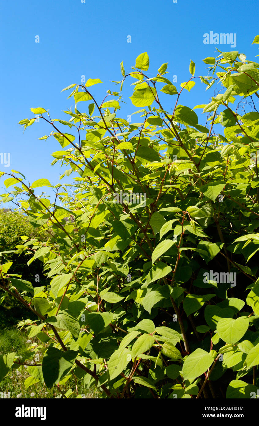 Japanese Knotweed growing vigerously in a Maesteg graveyard it is endemic in the industrial valleys of South Wales - Stock Image