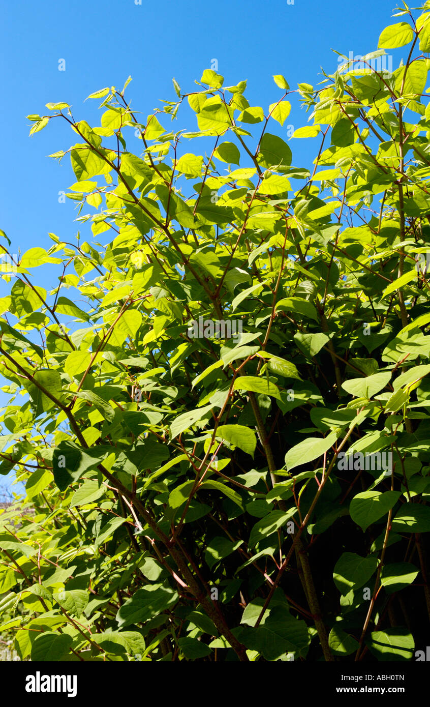 Japanese Knotweed In Your Garden: Japanese Knotweed Uk Stock Photos & Japanese Knotweed Uk