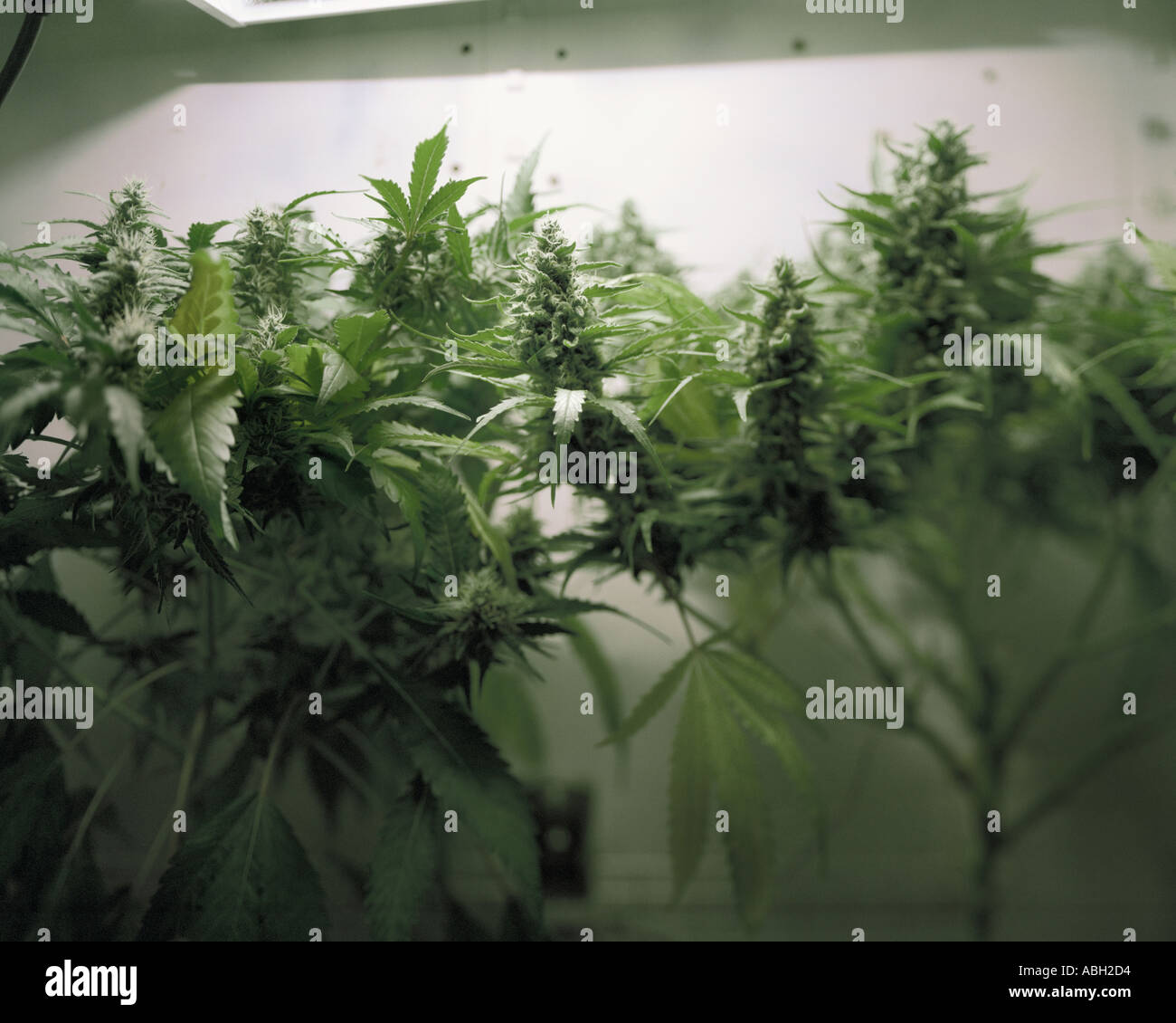 big with photo a looking buds grown lights healthy closet plant me harvesting hydroponically ready stock for pot plants spectrum in full under