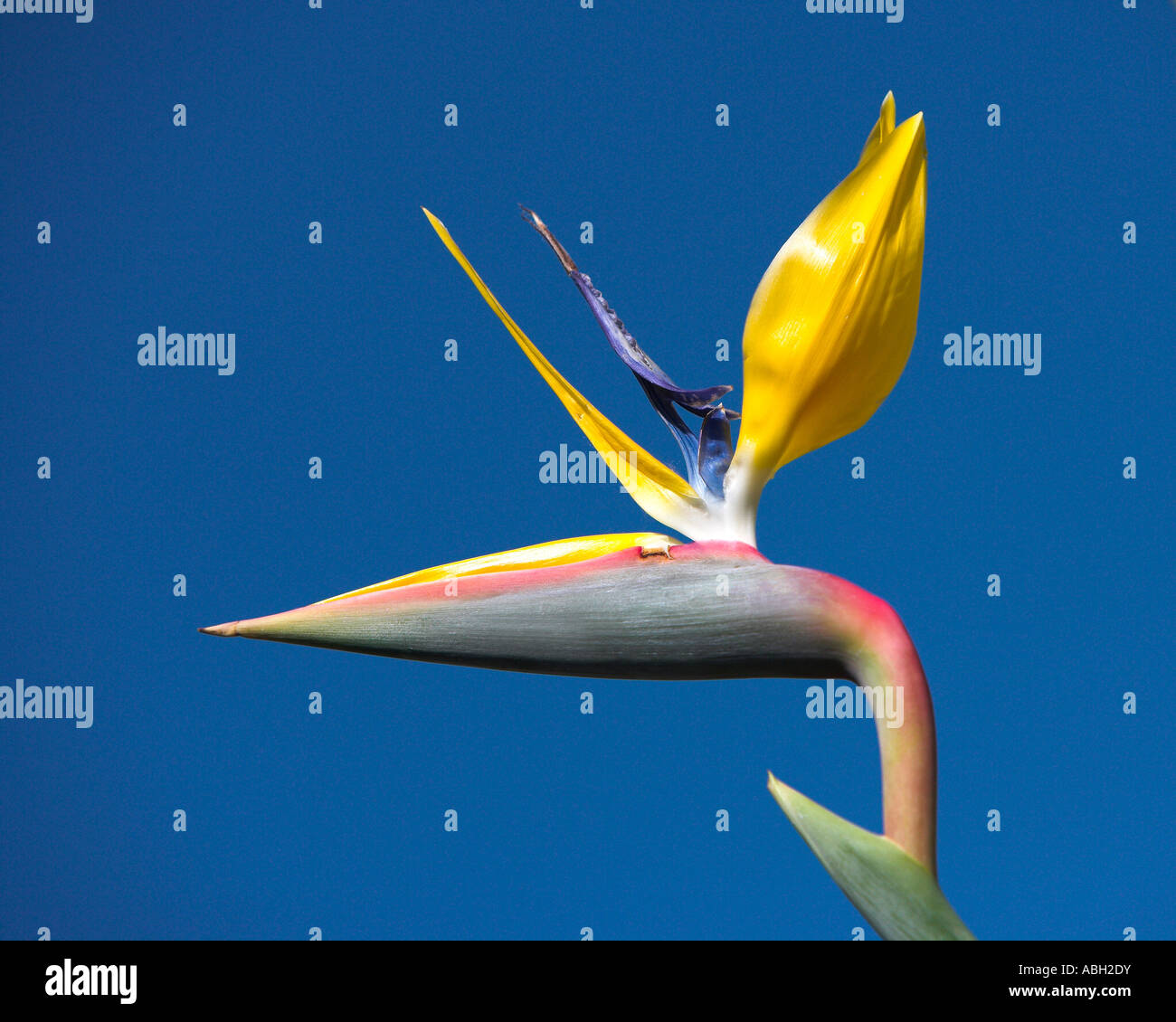 Strelitzia reginae Bird of paradise background blue sky - Stock Image