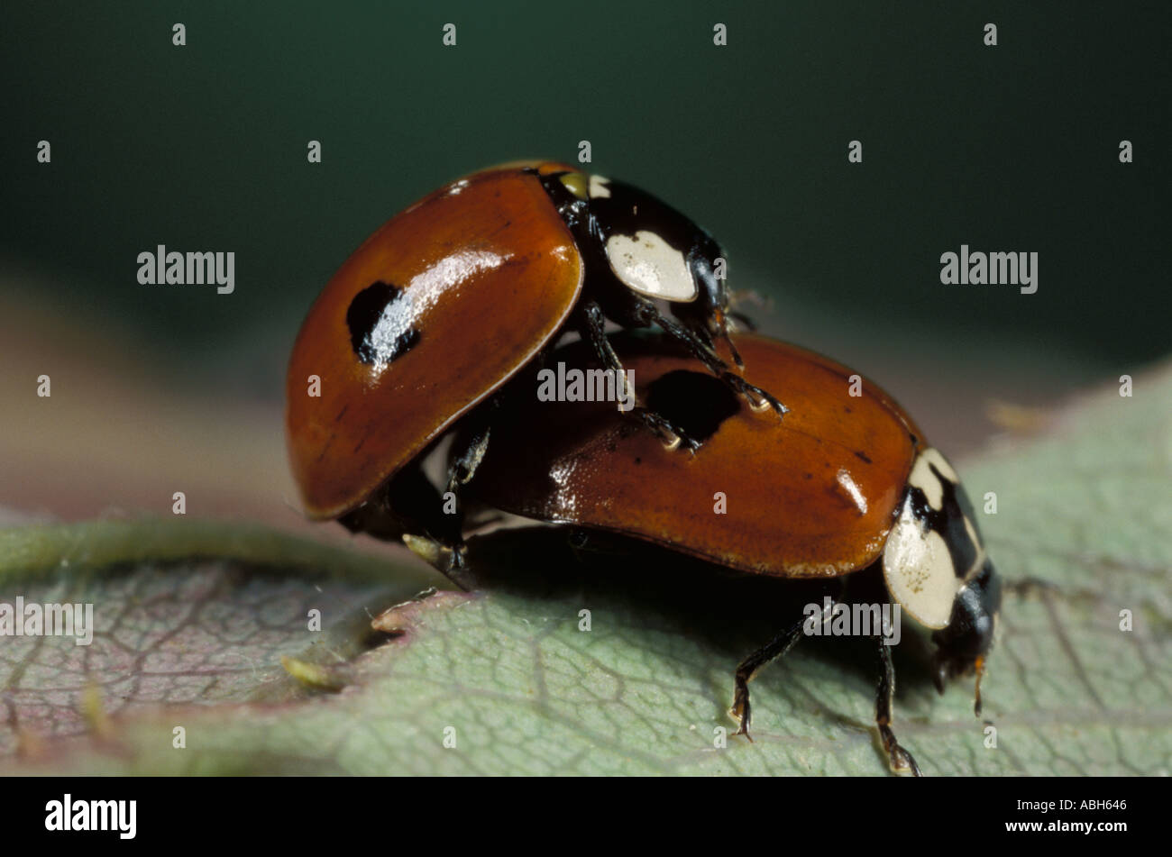 2 Spot Ladybird Pair Mating