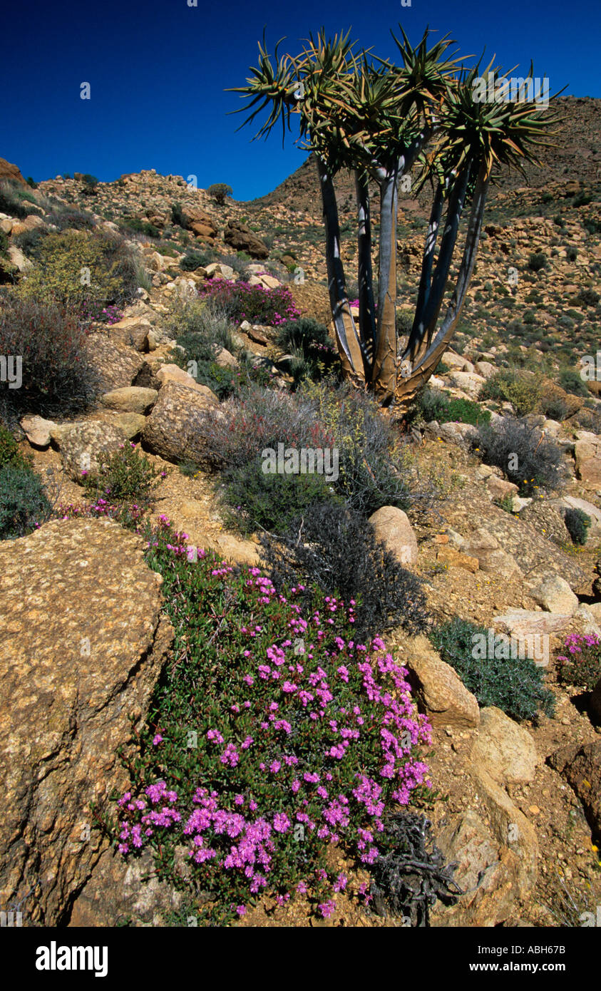 Quiver trees Aloidendron dichotomum growing in Goegap Nature reserve in Namaqualand Southern Africa Stock Photo