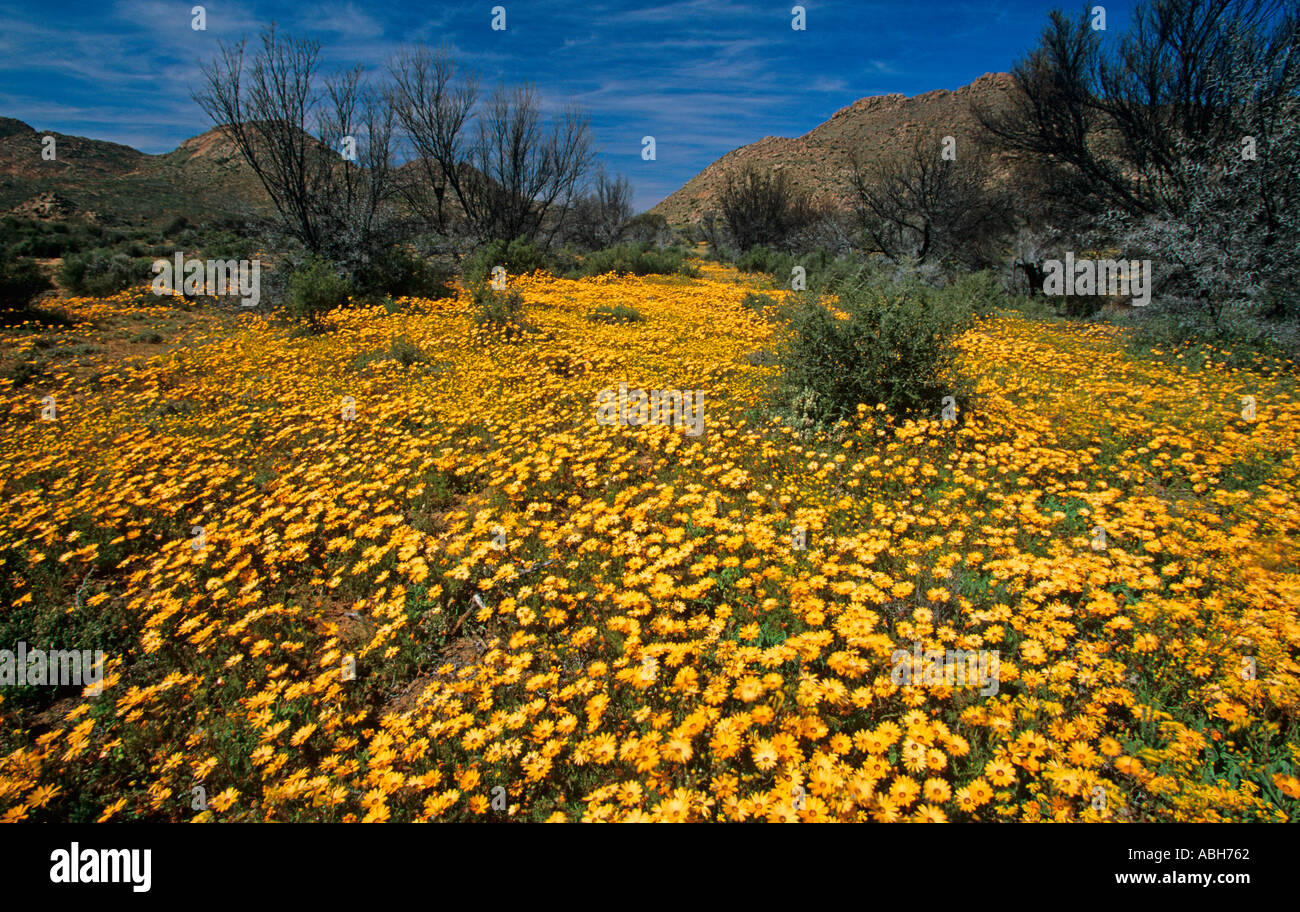 Spring Flowers Namaqualand South Africa August Stock Photo 2381665