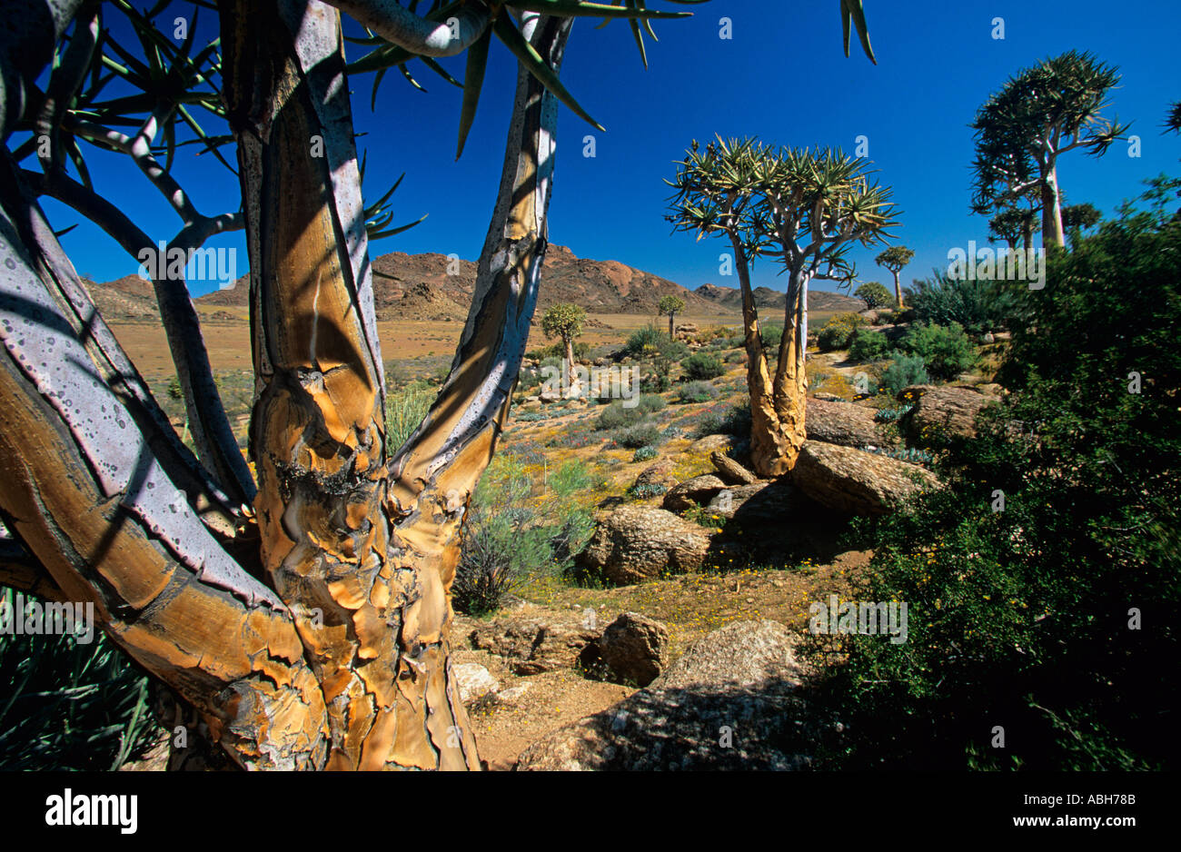Quiver trees Aloidendron dichotomum growing in Goegap Nature reserve in Namaqualand Southern Africa - Stock Image