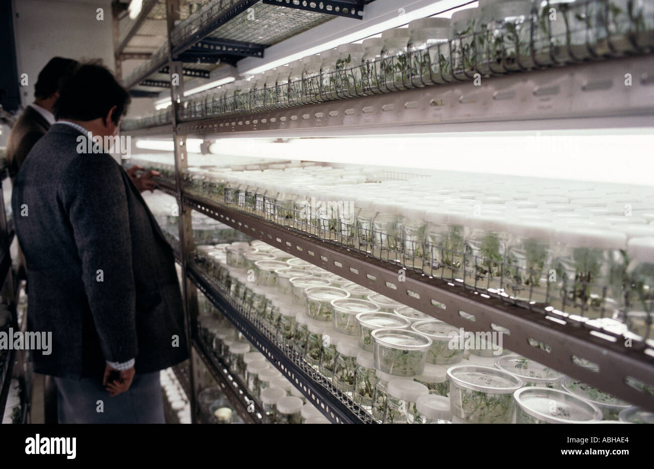 Growing room with micropropagated plants under growing lights on shelves - Stock Image