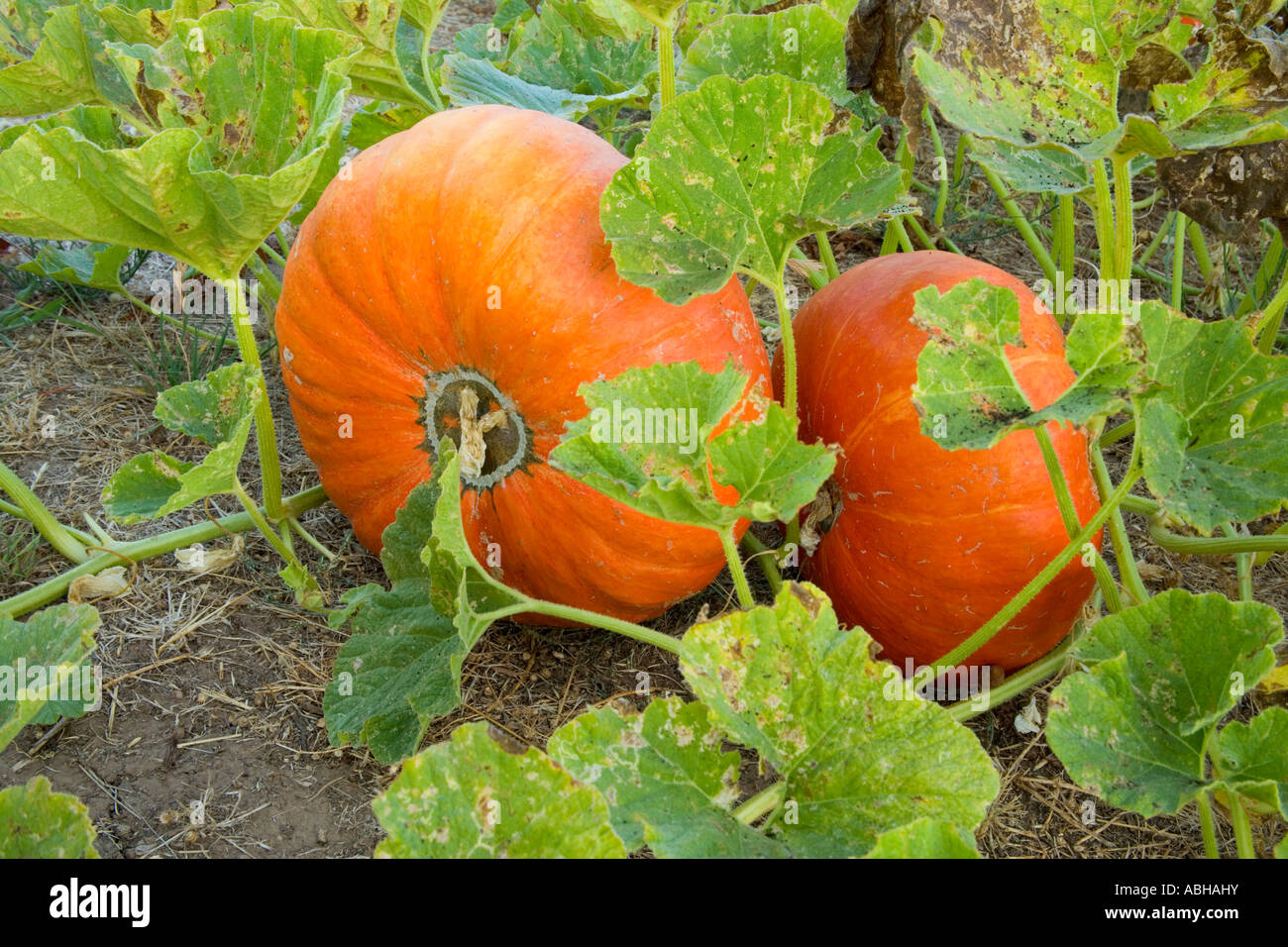 Pumpkins   'Rouge Vif d Etampes'  growing in field,  California - Stock Image