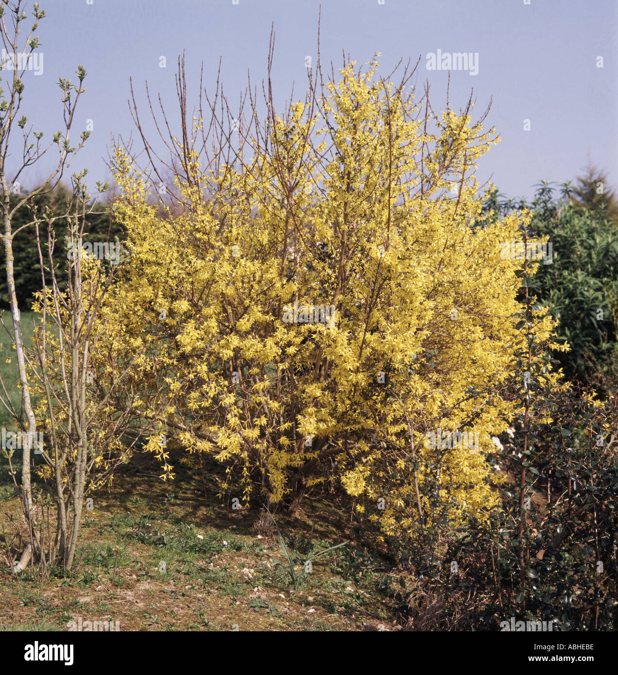 Yellow early flowering Forsythia shrub in garden setting Stock Photo