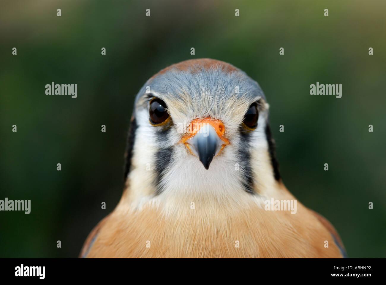 American kestrel, Falco sparverius, close-up of face showing facial stripes - Stock Image