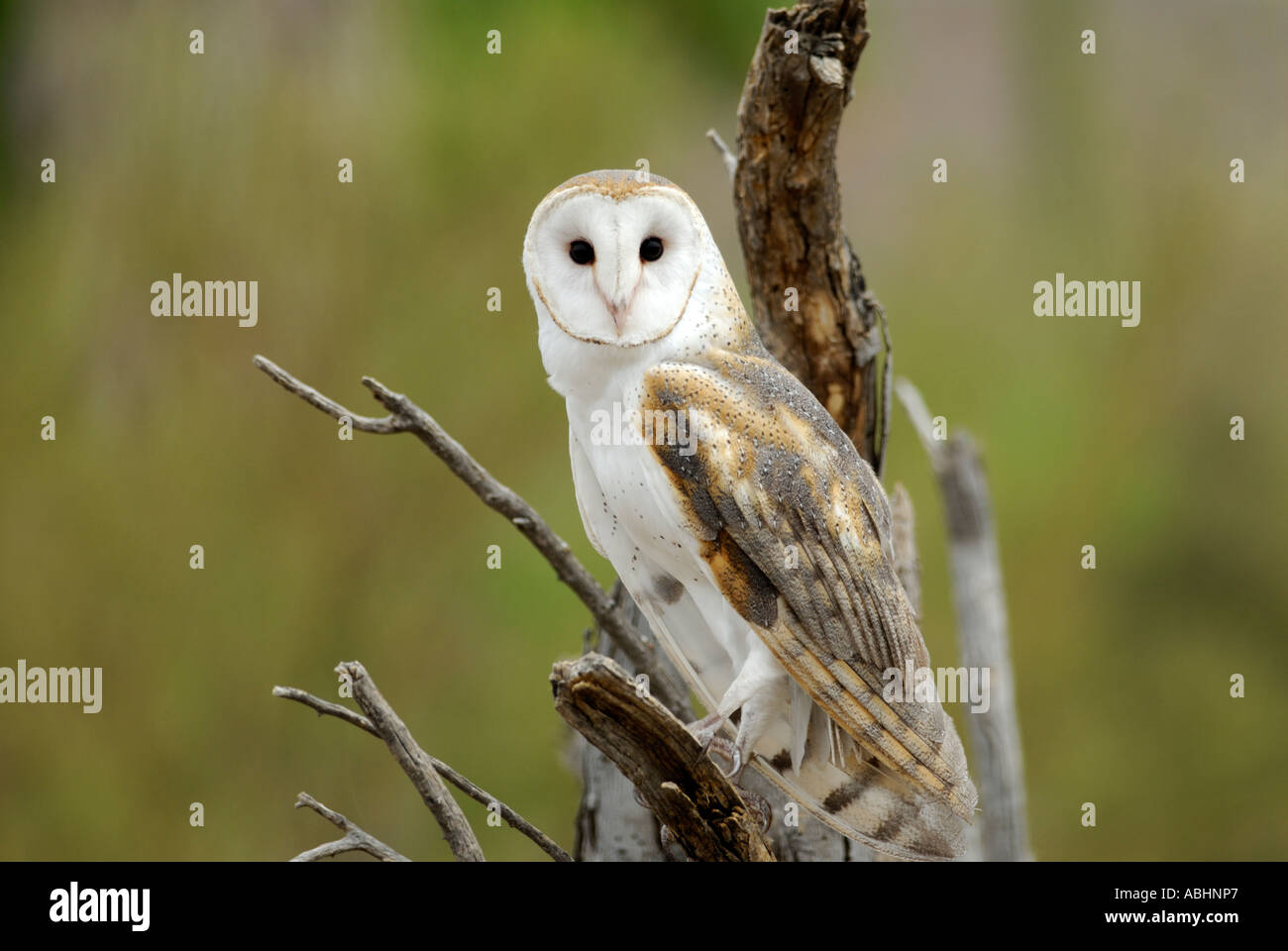 Barn owl, Tyto alba, close-up, perched on  branch, looking at camera - Stock Image