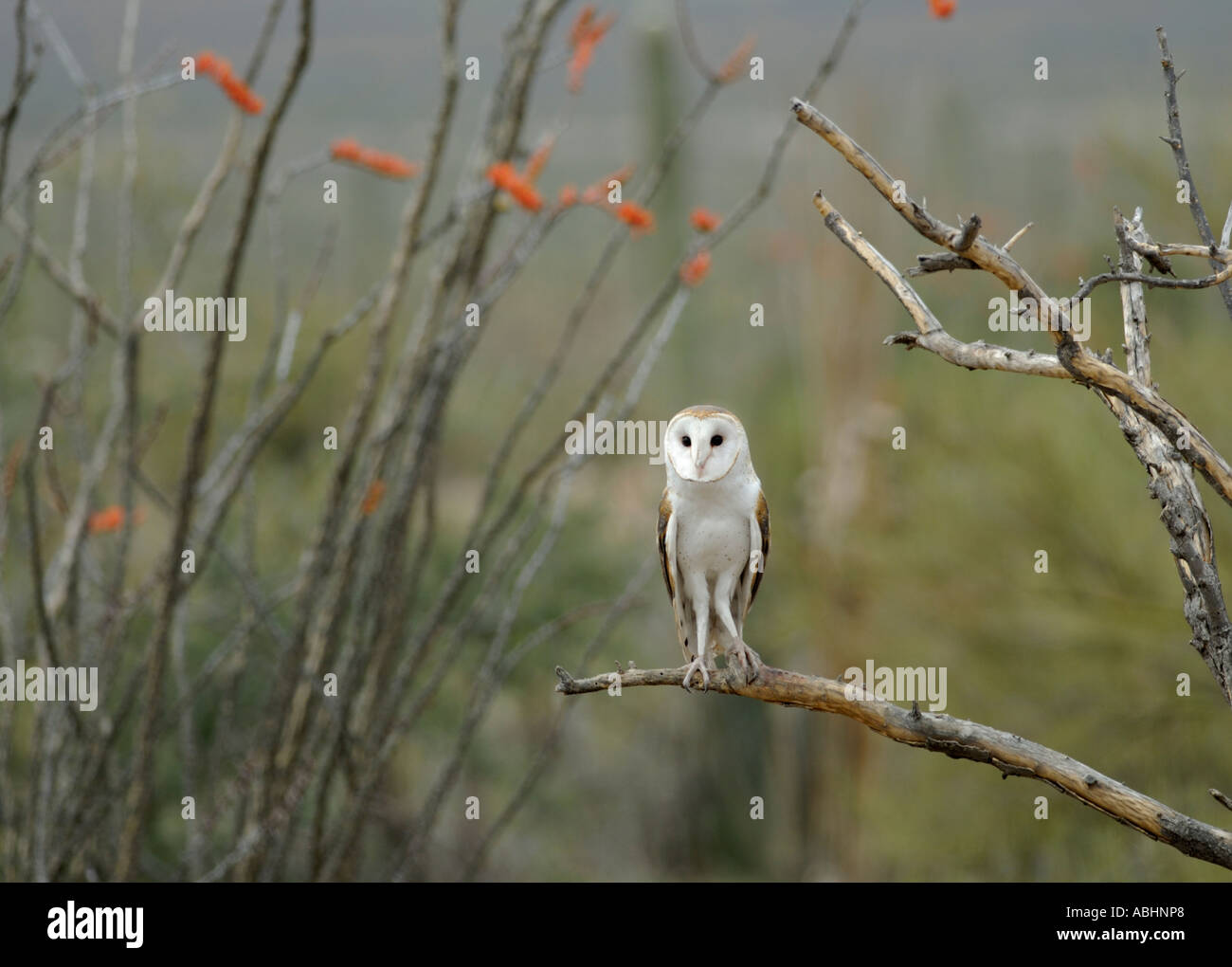 Barn owl, Tyto alba, perched on branch, looking at camera - Stock Image
