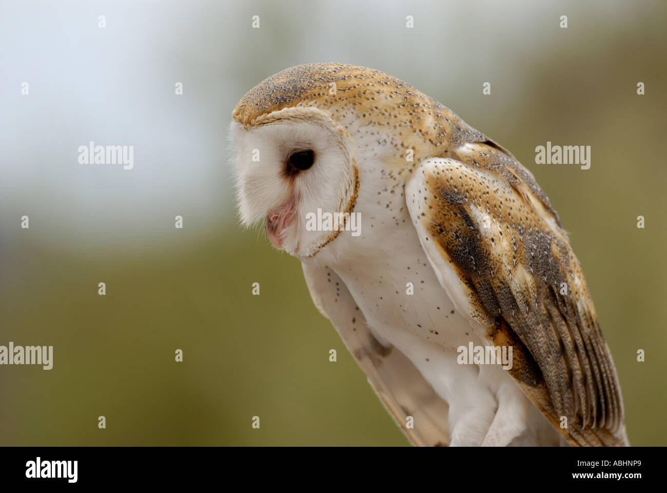 Barn owl, Tyto alba, body and head looking down - Stock Image