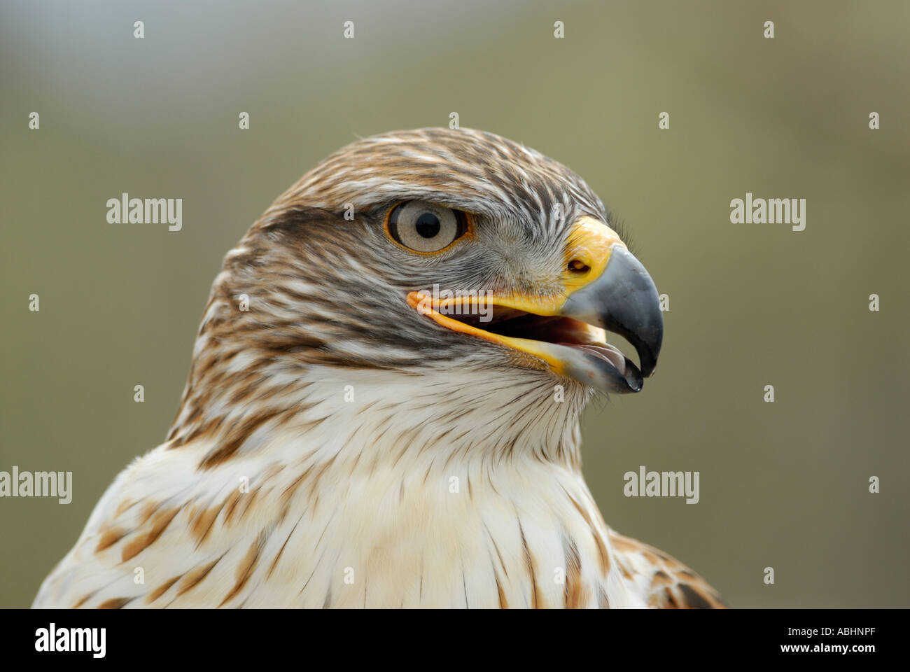 Ferruginous hawk, Buteo regalis, close-up of head looking to side - Stock Image