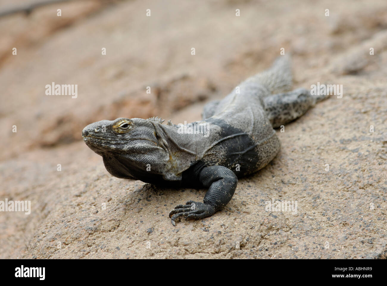 Spiny tailed iguana, Ctenosaura hemilopha, on a rock, Sonora Desert Stock Photo