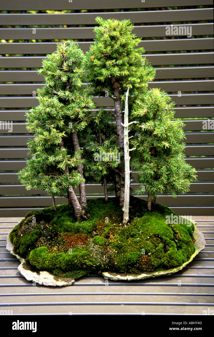 Juniper Bonsai Forest Stock Photo Alamy