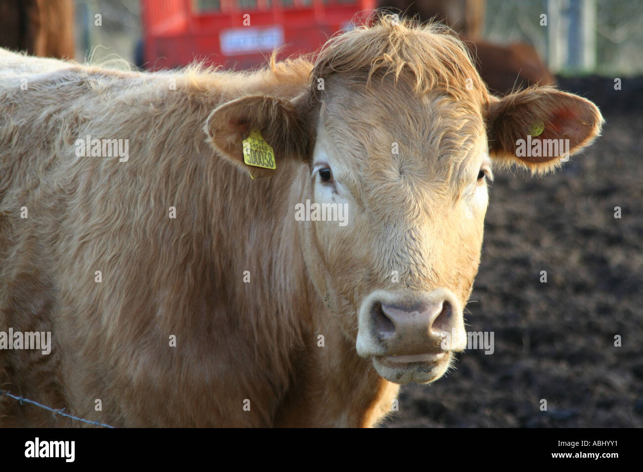 Jersey cow, Chatelherault Country Park, Hamilton, Scotland, UK. - Stock Image
