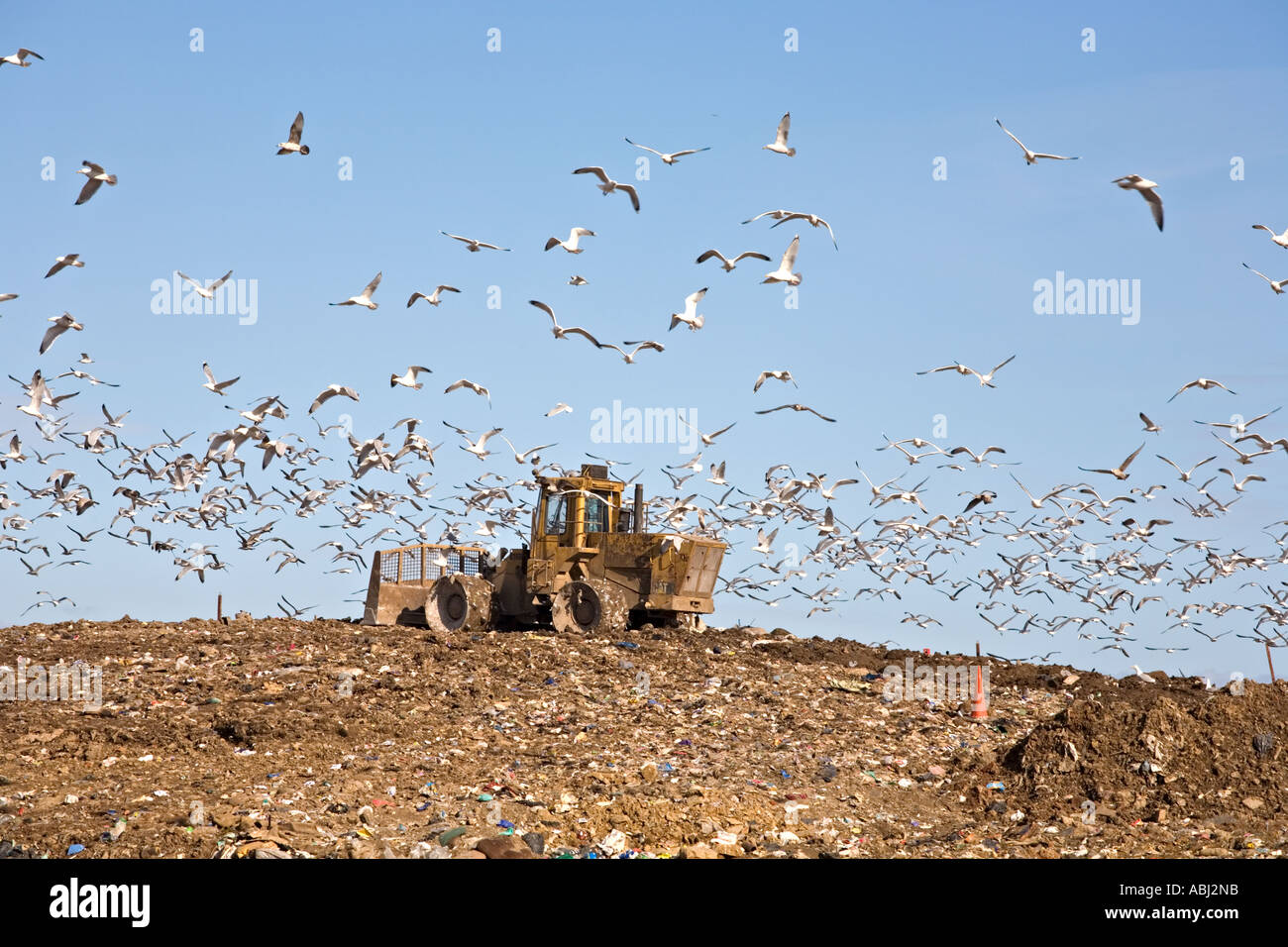 UK Landfill Site with Earthmover and circling Gulls - Stock Image