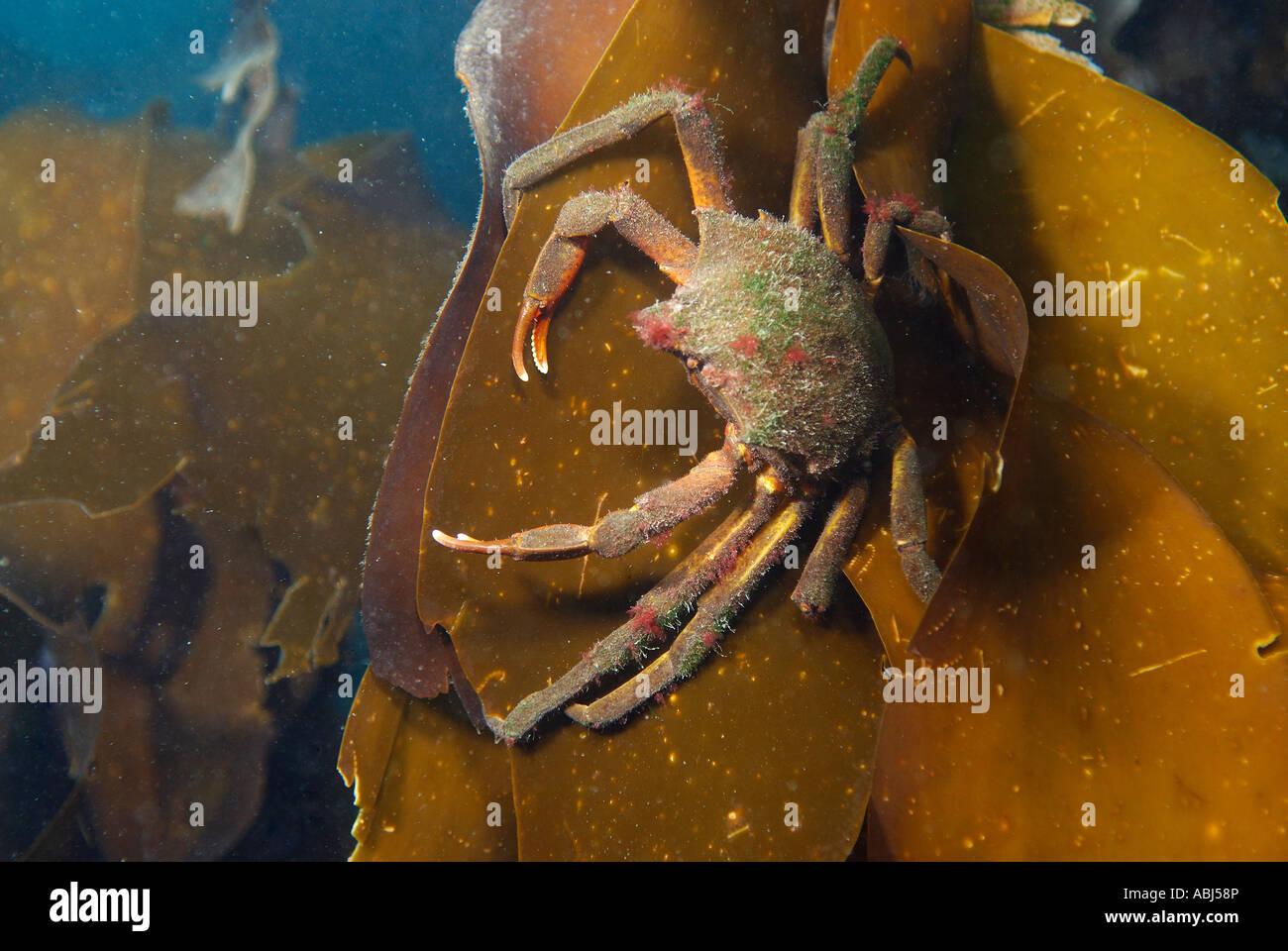 Graceful Kelp Crab Stock Photos Graceful Kelp Crab Stock Images