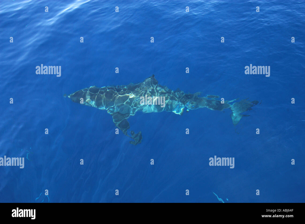 Great White Shark Guadalupe Island Mexico looking down from boat ...