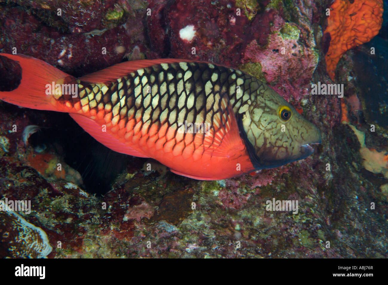 Stoplight Parrotfish Stock Photos & Stoplight Parrotfish Stock ...