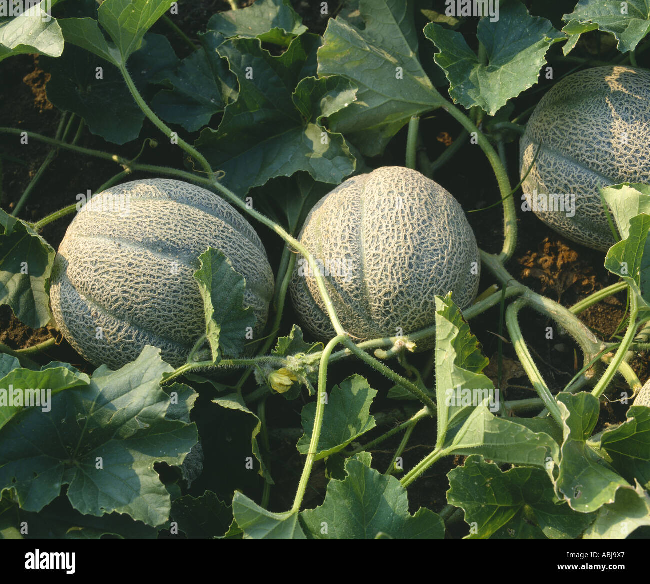 Growing melons in the open field: the choice of varieties, planting and care 49