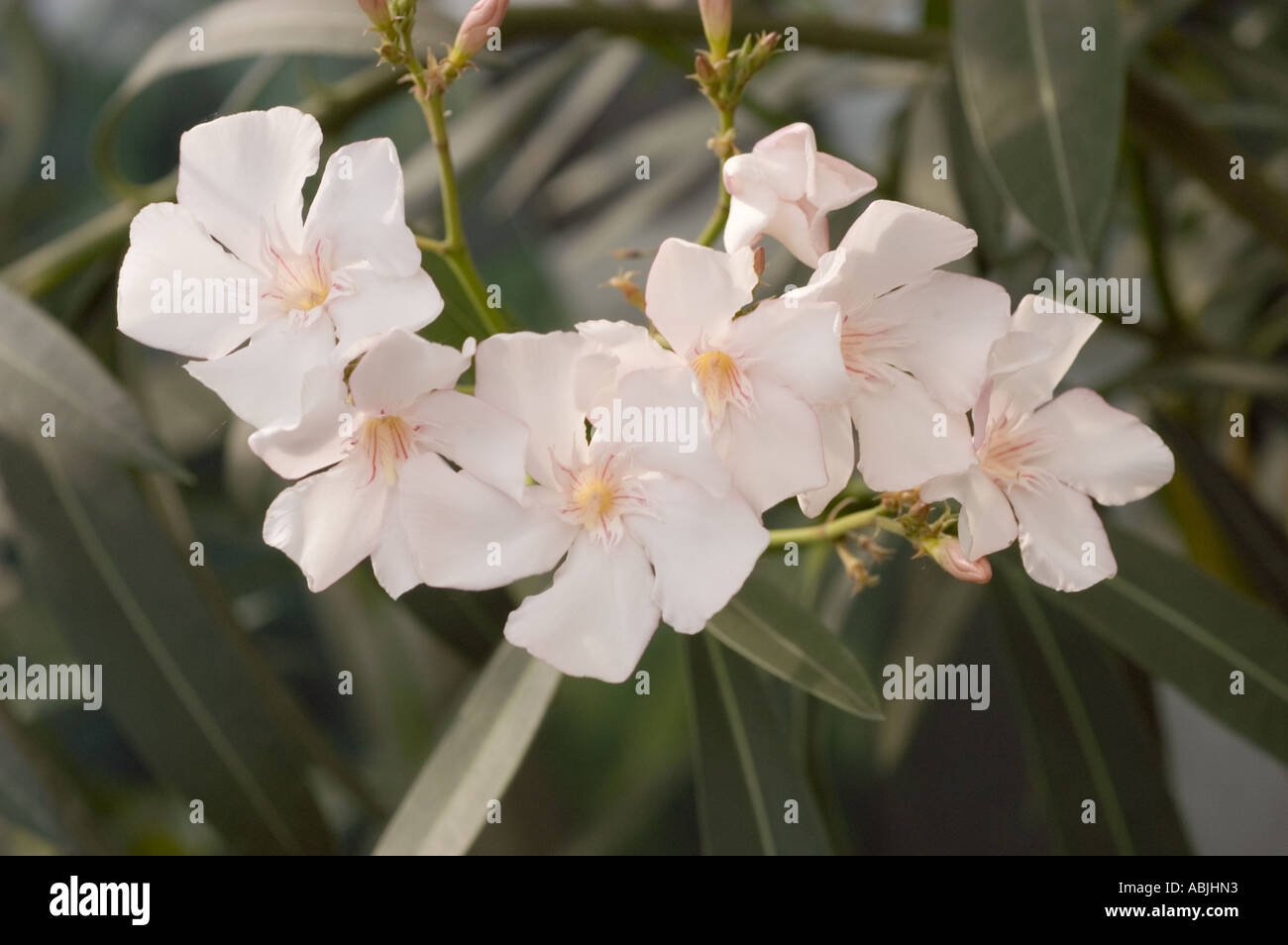 White Oleander Flowers Stock Photos White Oleander Flowers Stock
