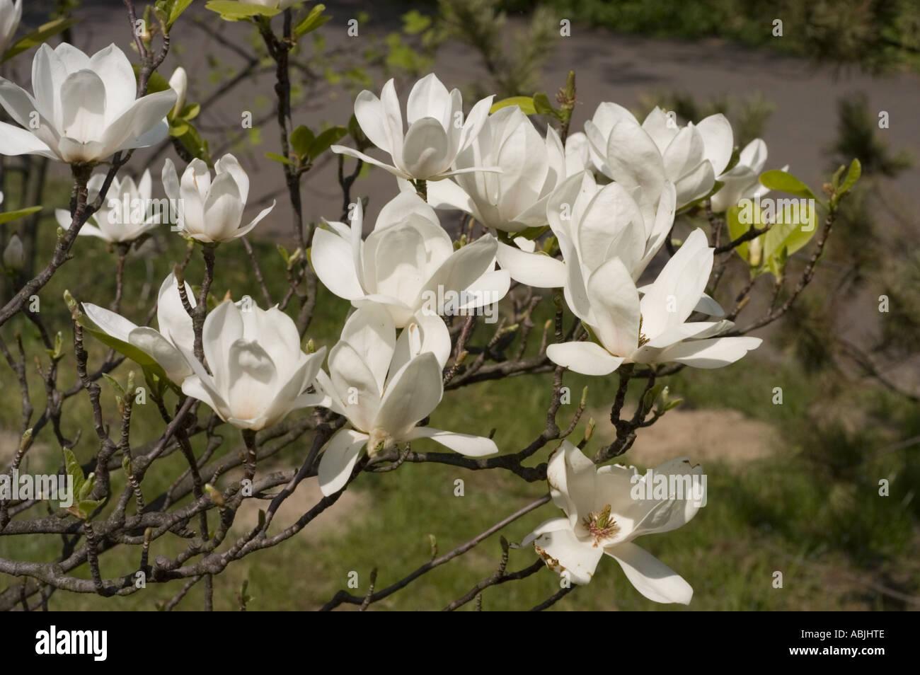 White Magnolia Flowers From Tulip Stock Photos White Magnolia