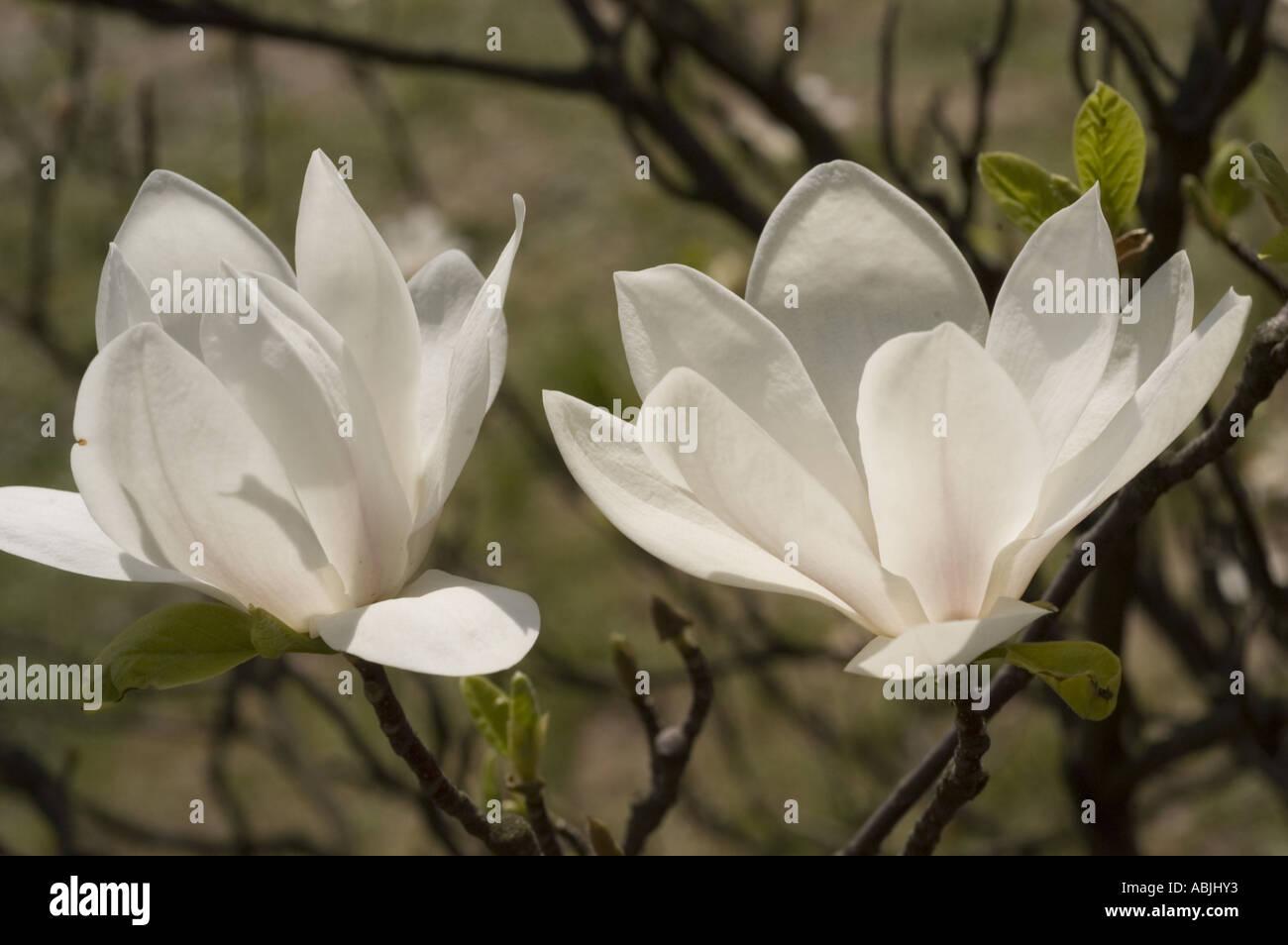 White Magnolia Flowers From Tulip Tree Or Tulip Bush Magnoliaceae