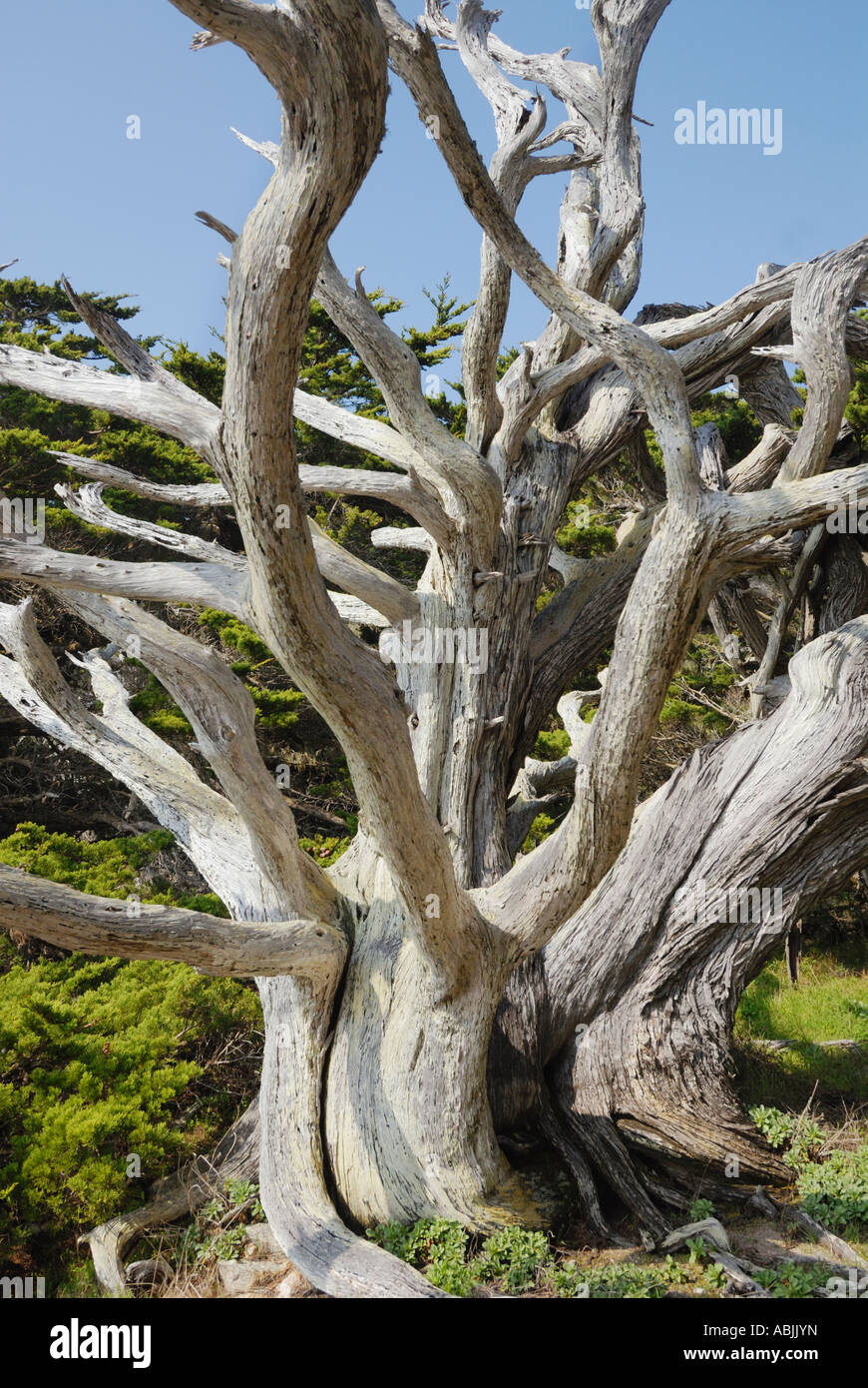 Point Lobos State Reserve Allan Memorial Grove of Monterey Cypress Trees - Stock Image