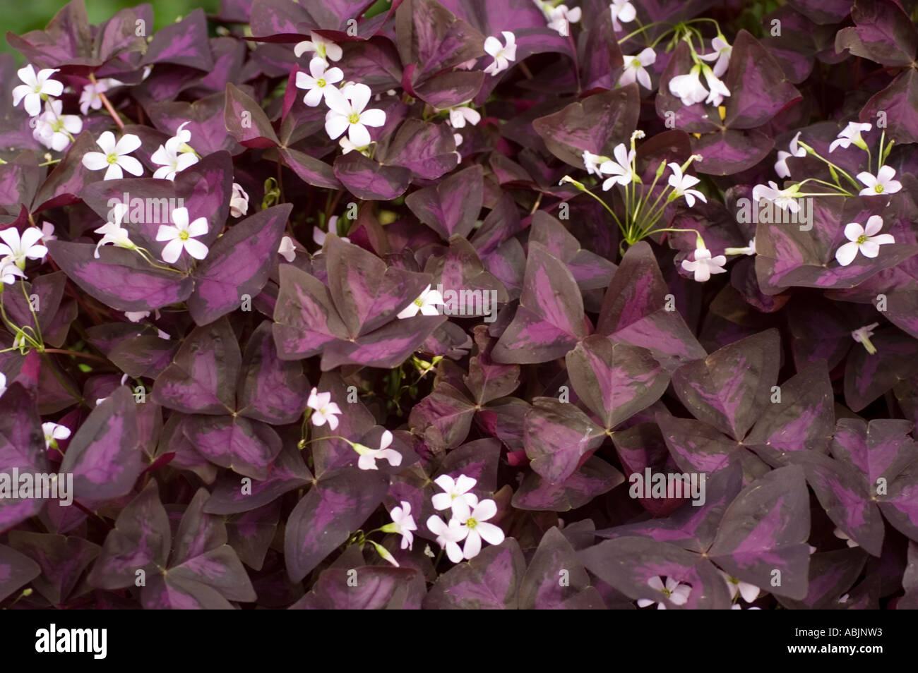 Oxalis triangularis white flower purple stock photos oxalis white flower and purple leaves of purple shamrock or crimson iron cross oxalis triangularis stock mightylinksfo