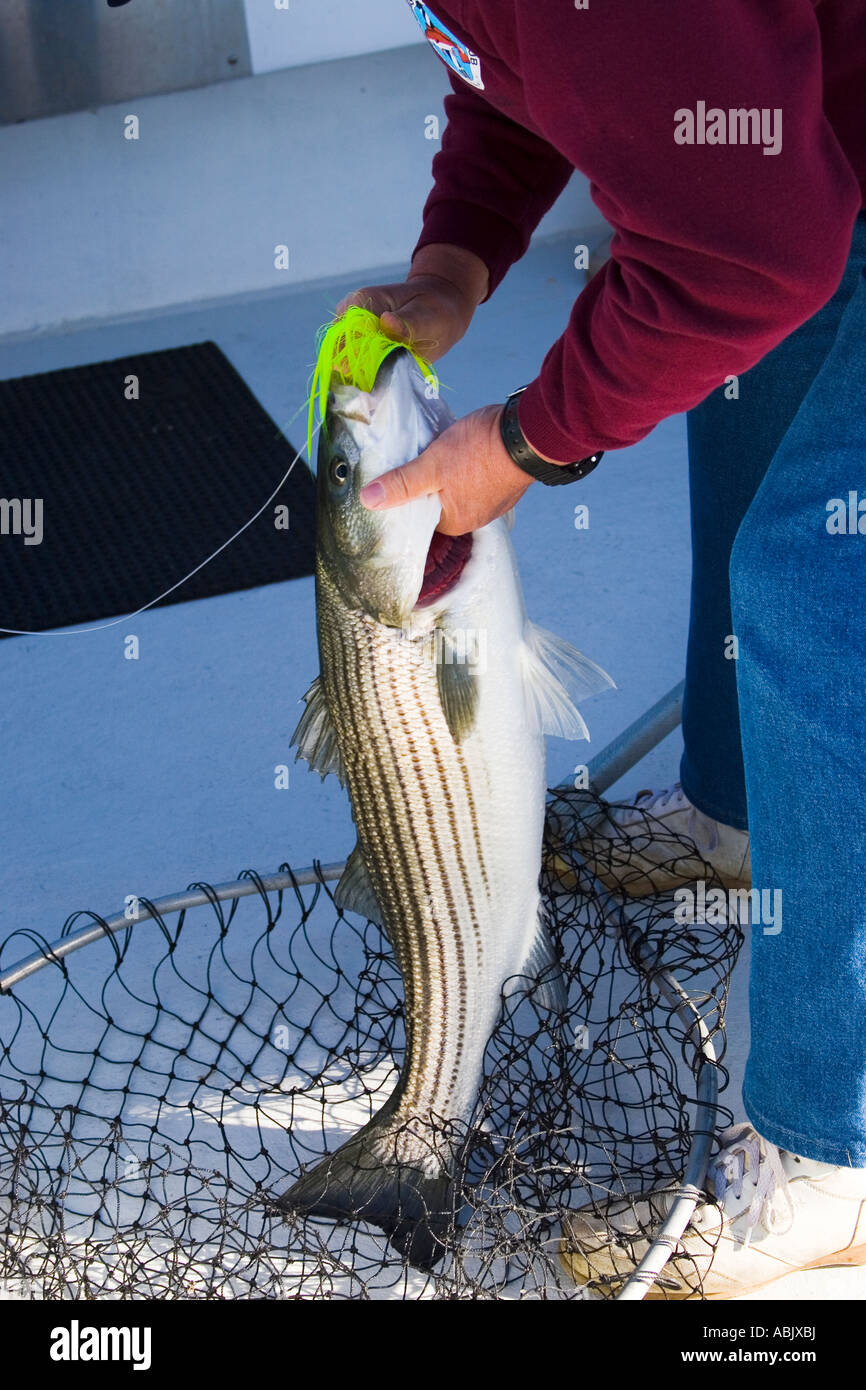 sports shoes 3bb1e f1342 Fisherman with a Striped Bass caught while fishing from a boat in the  Chesapeake Bay off