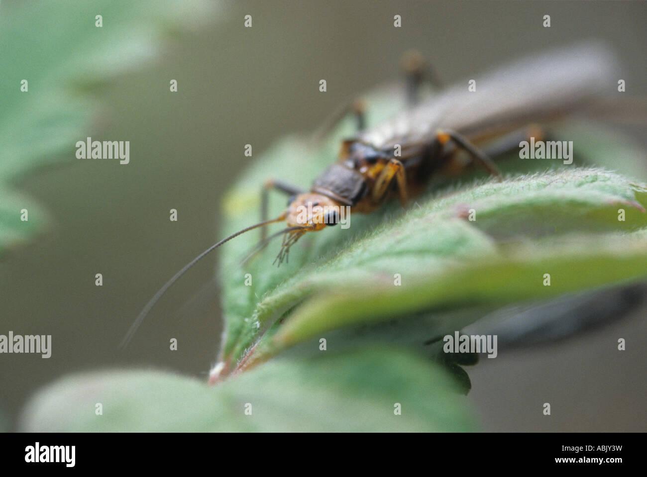 Stonefly resting on leaf - Stock Image