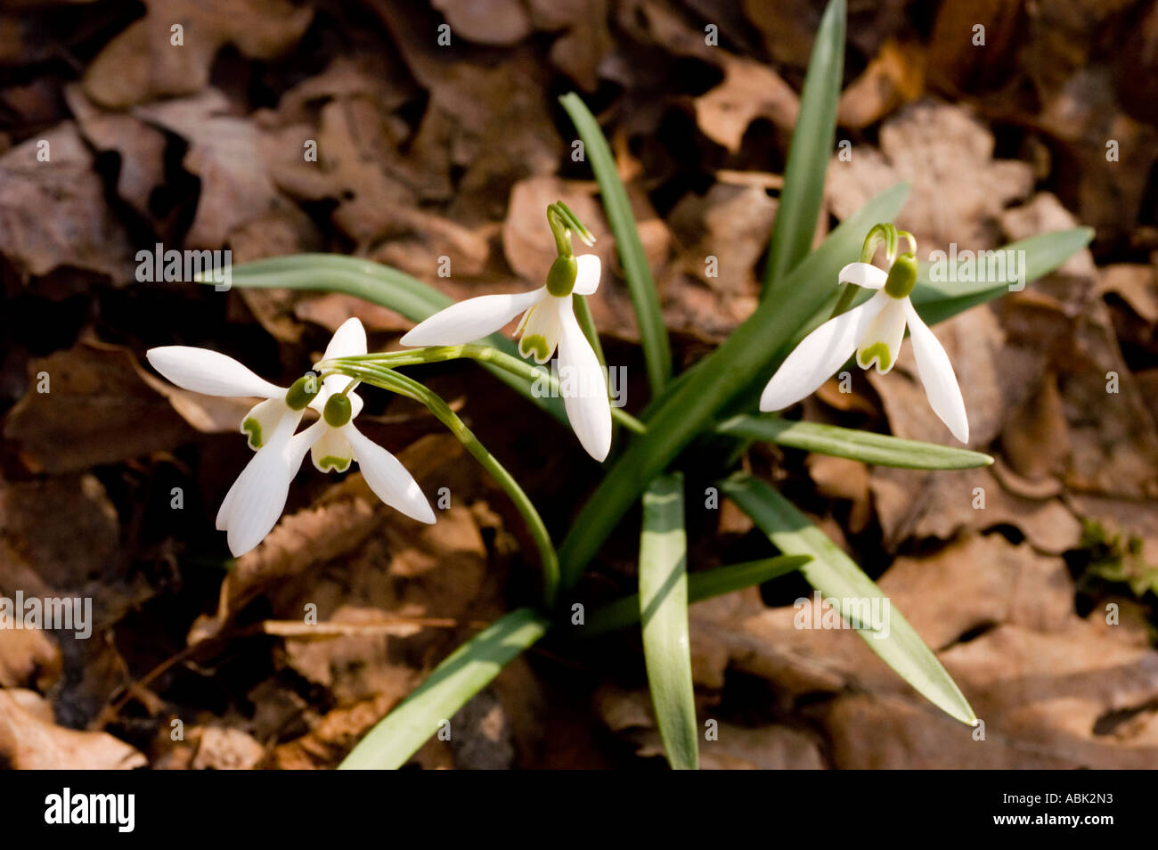 White Flowers Of Early Spring Common Snowdrop Milk Flower Latin Name