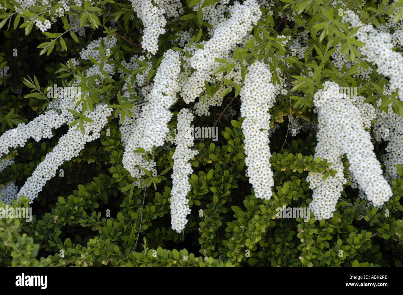 White Flowers Garland Spirea May Stock Photos White Flowers