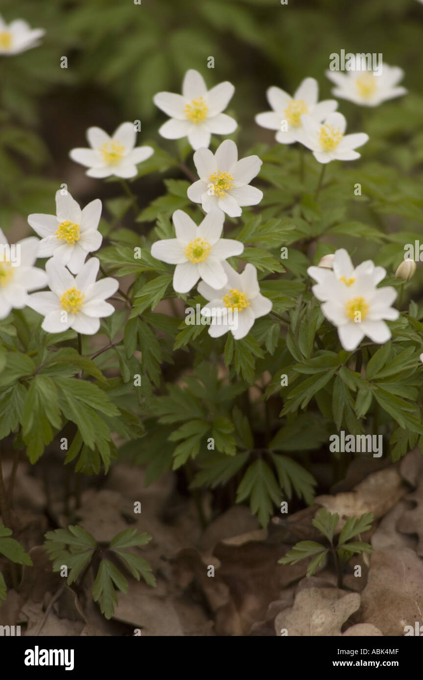 Early Spring White Flowers Of Forest Anemones Ranunculaceae Anemone