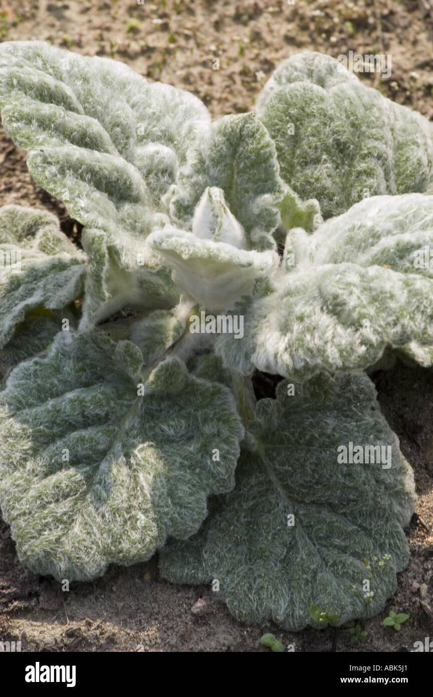 Sage Argentea Lamiaceae Salvia argentea Stock Photo