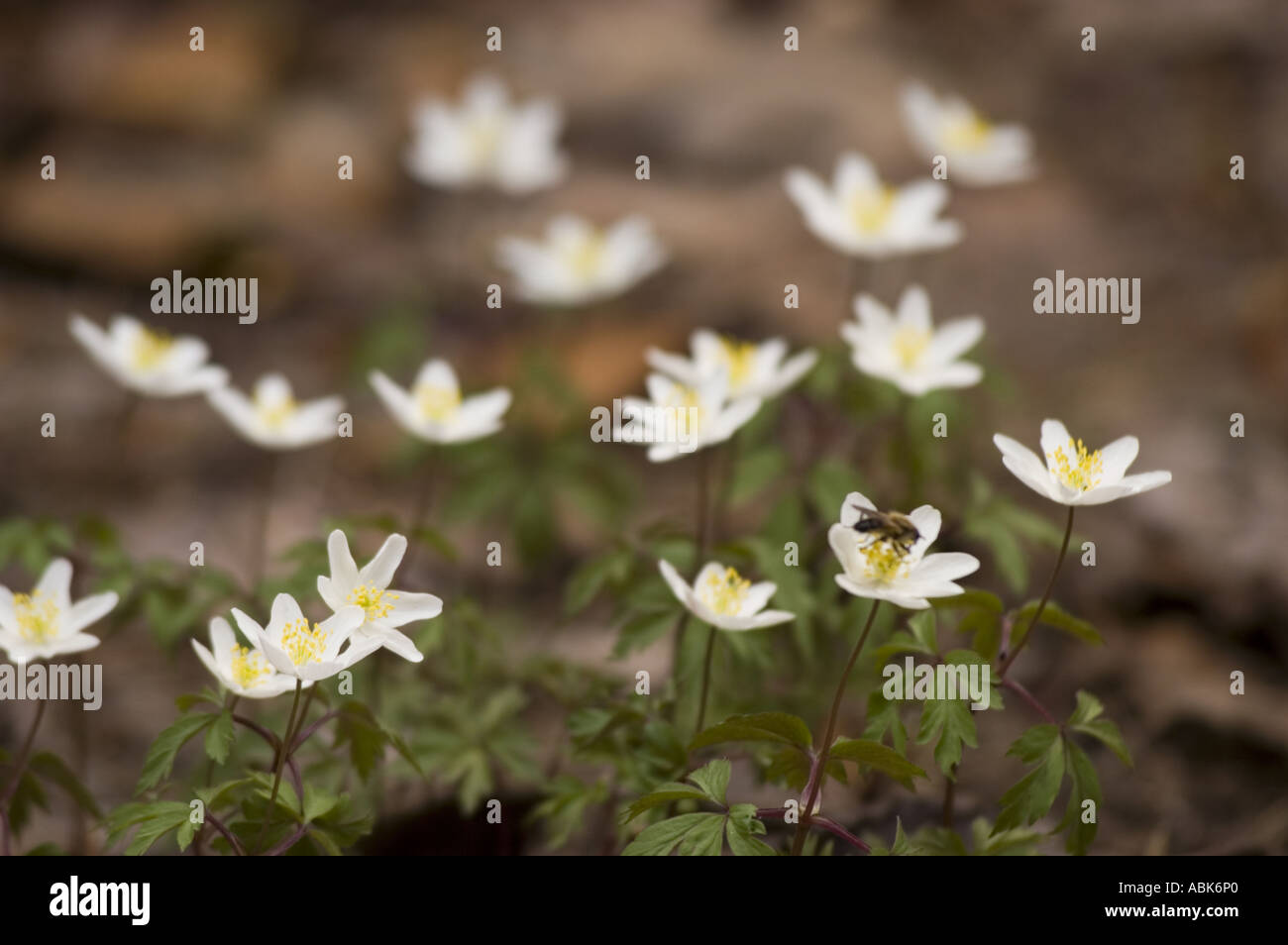 Early Spring White Flowers Of Anemones Grecian Windflower Stock