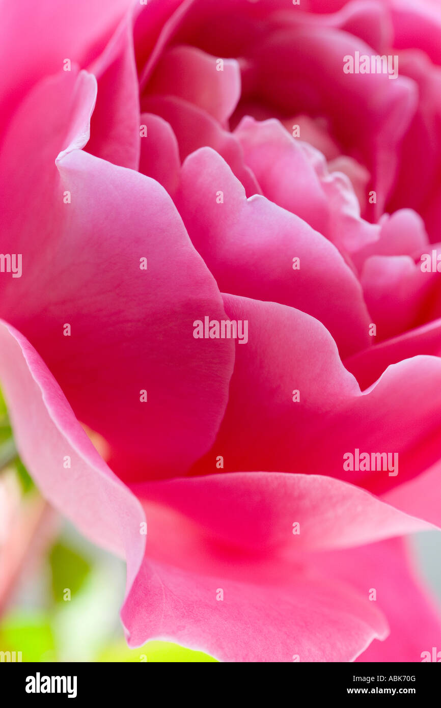 Pink Rose - Stock Image