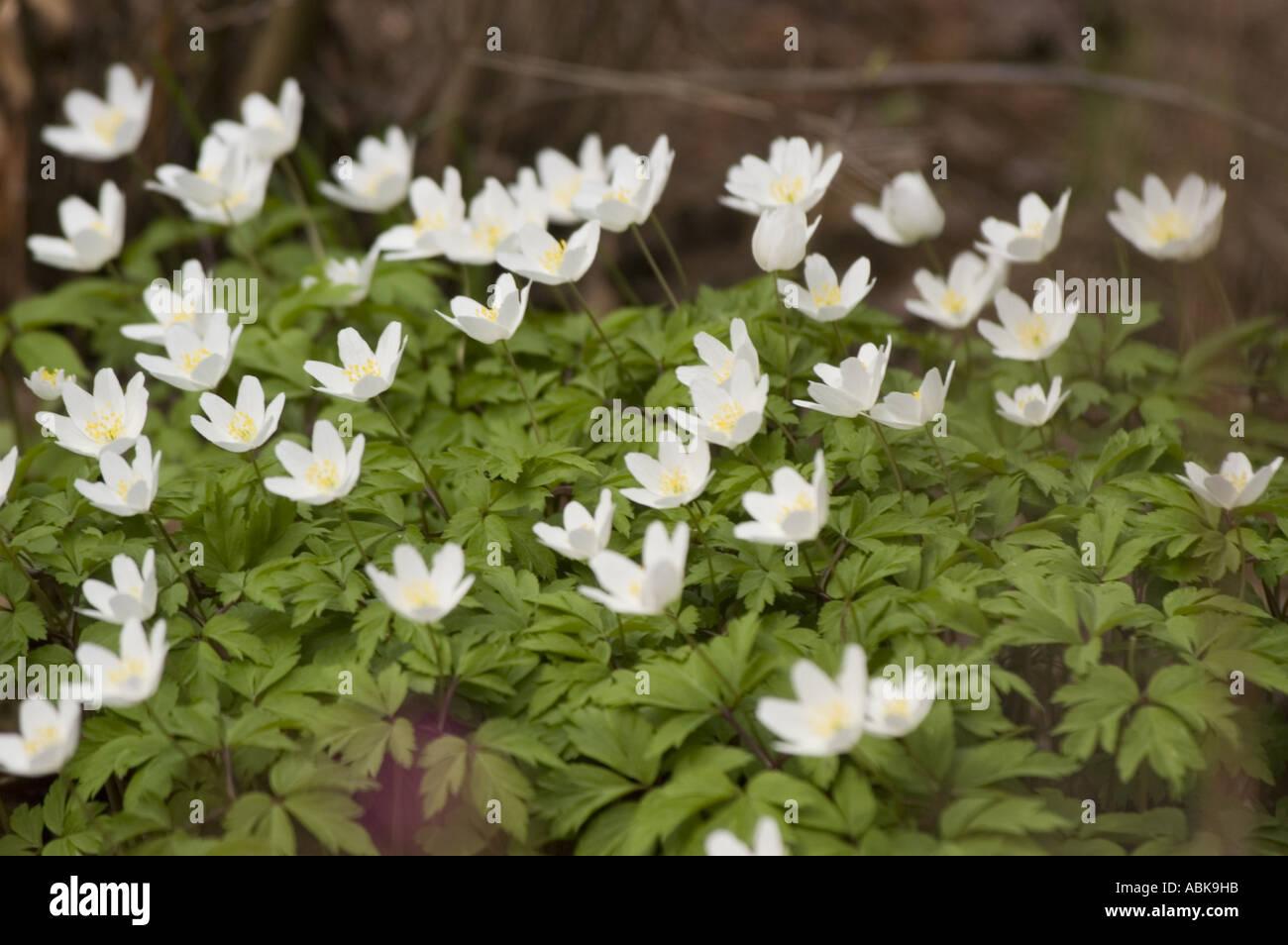 Grecian Windflower Anemone Blanda White Stock Photos Grecian