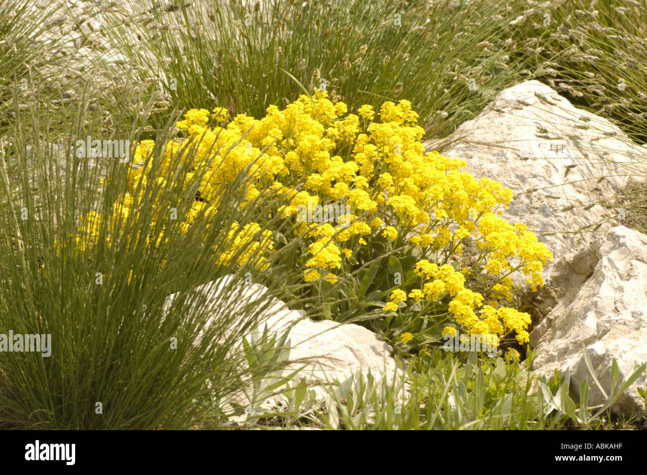 Carpet of yellow gold flowers of alpine flowers basket of gold stock carpet of yellow gold flowers of alpine flowers basket of gold brassicaceae alyssum saxatile mightylinksfo