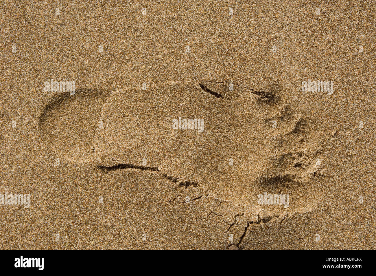 left foot footprint in yellow golden sand - Stock Image