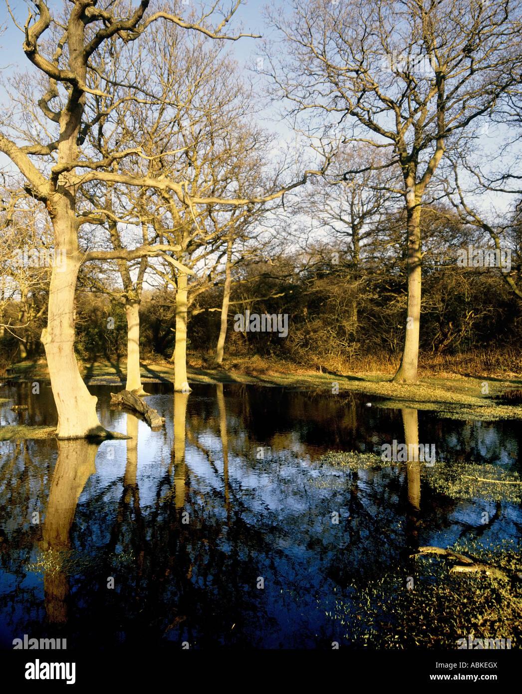 woodland trees flood floods flooded - Stock Image