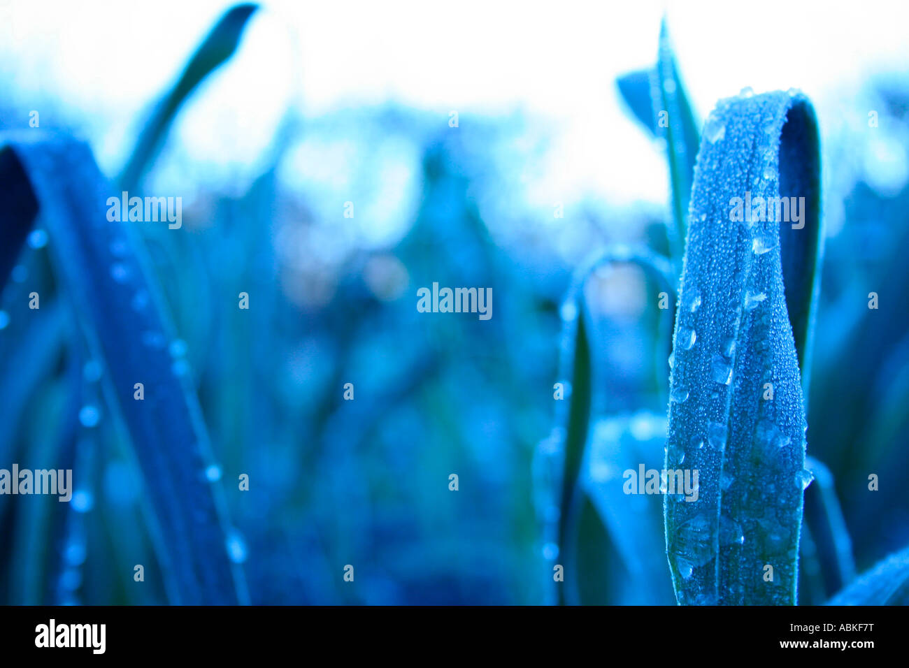 Frost on long blades of grass - Stock Image
